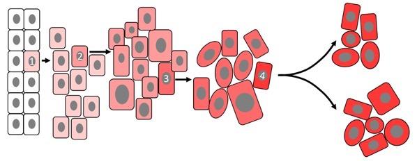 Clonal growth